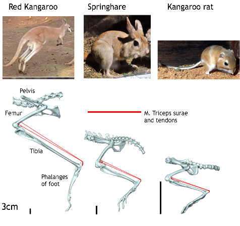 Mammal's Locomotion