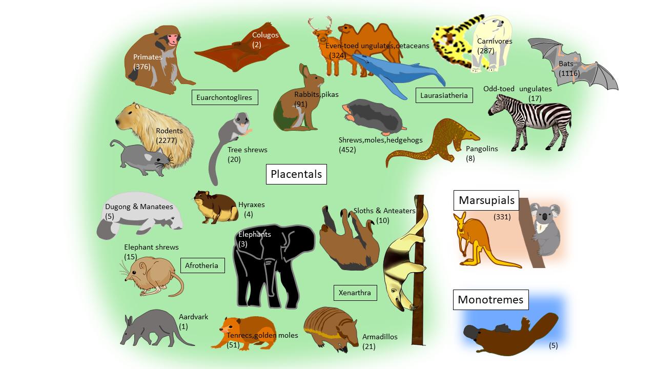 Placental Mammals List